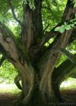 Irish Tree Trunk
