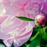 Peonie Bud n'Bloom