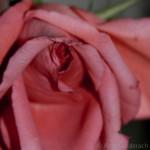 Intimate Rose