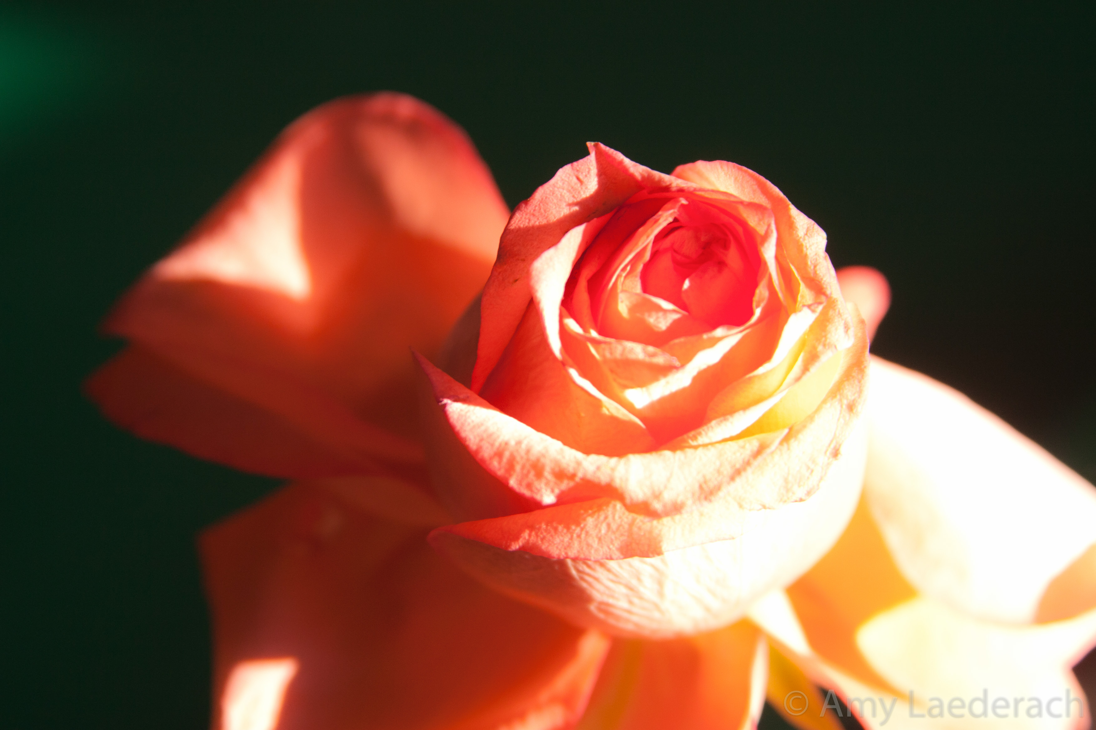 Roses whats with all the roses delightful healing arts orange rose in sunlight buycottarizona Choice Image