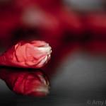 Inner Rose Revealed