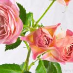 Pink Star Petal Rose