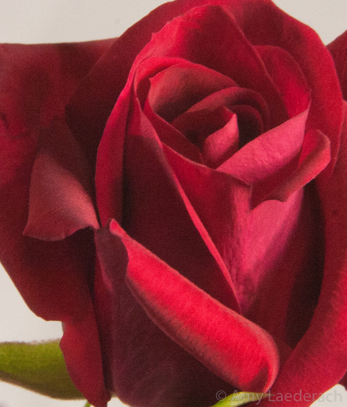 Roses What S With All The Roses Delightful Healing Arts