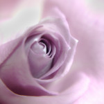 Violet Single Rose