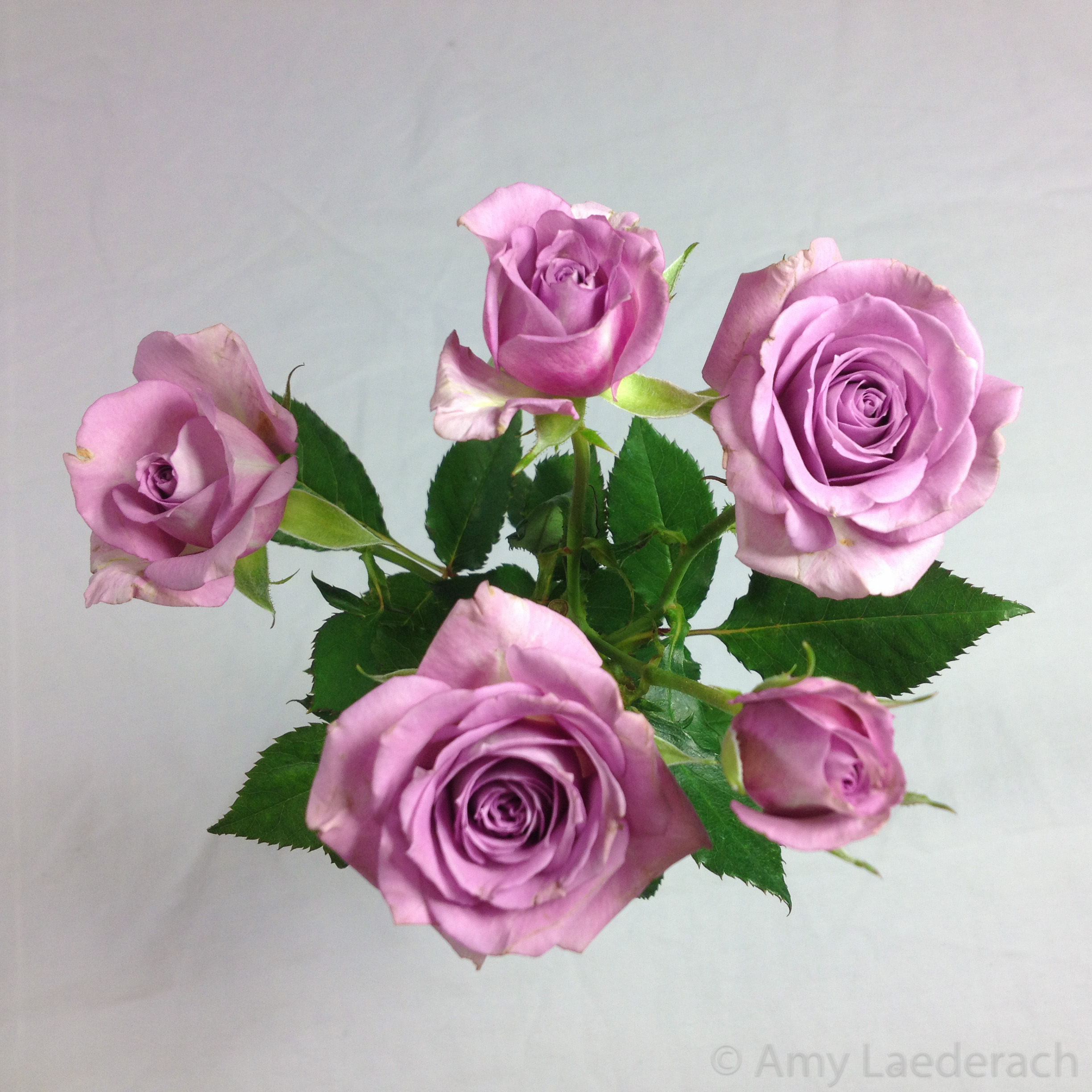 Roses whats with all the roses delightful healing arts violet roses biocorpaavc Images